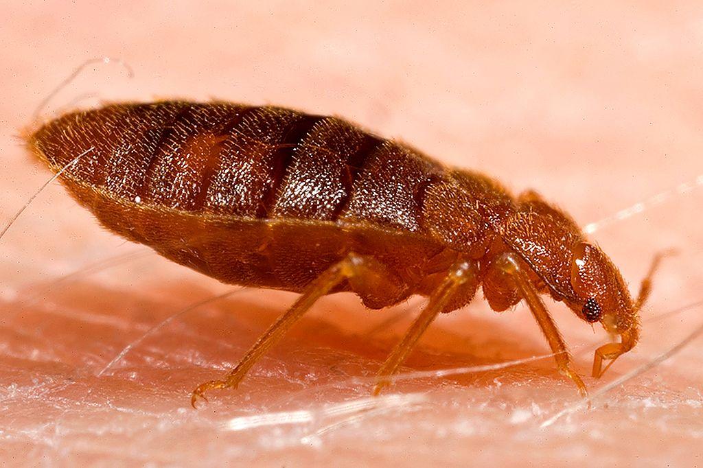 Bed-Bug-MGT