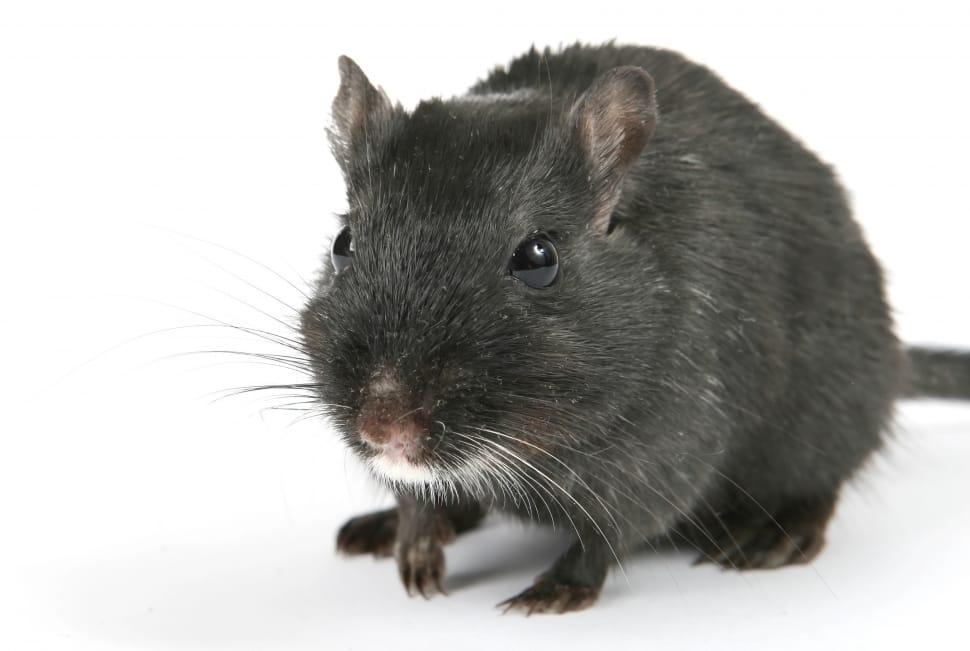 Rat-MGT