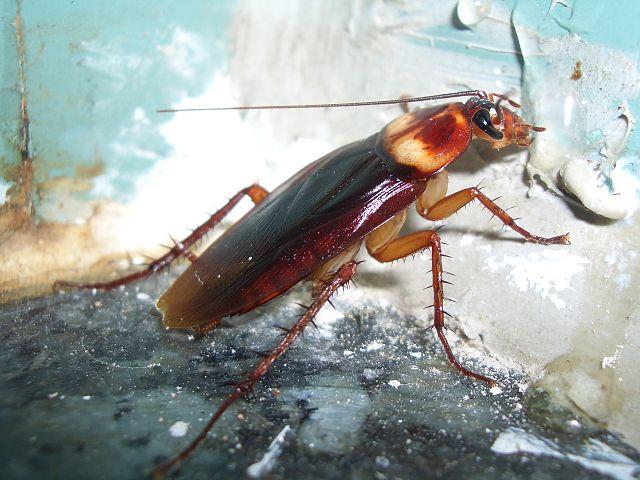 Cockroach-MGT