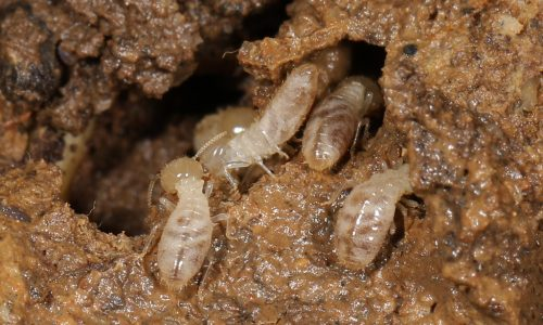 Termite-Treatment